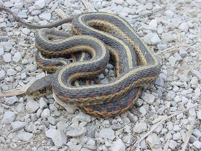 Garden Snakes In Missouri Garden Ftempo