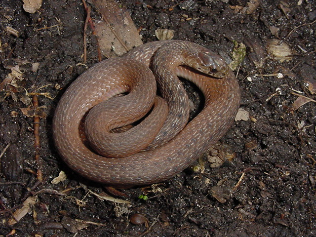 Download image brown snake south carolina pc android iphone and ipad