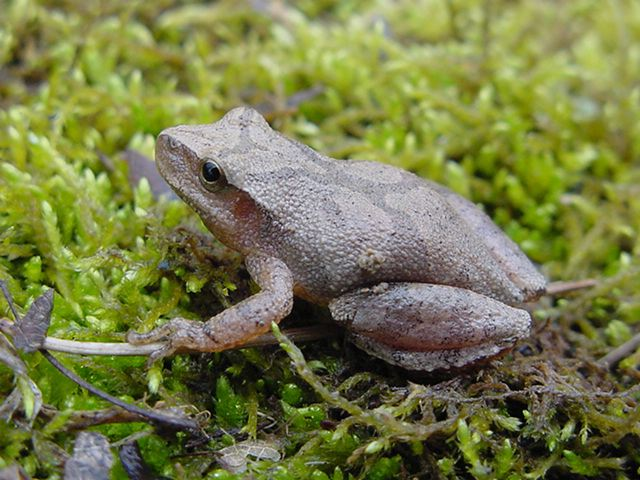 Frogs And Toads Of Missouri Missouri S Natural Heritage