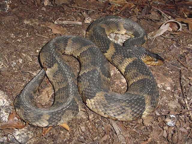 Banded Water Snake Care Banded Water Snake