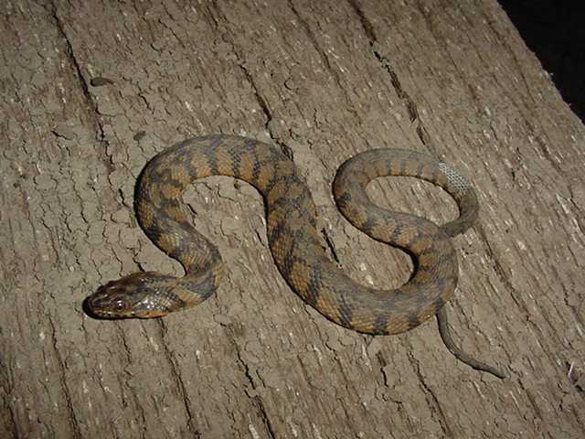 Missouri Water Snakes