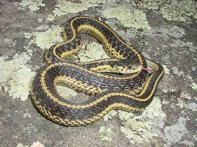 http://www.thies-times.com/serpentryan/lifelist/Snakes/EasternGarterSnake03.jpg