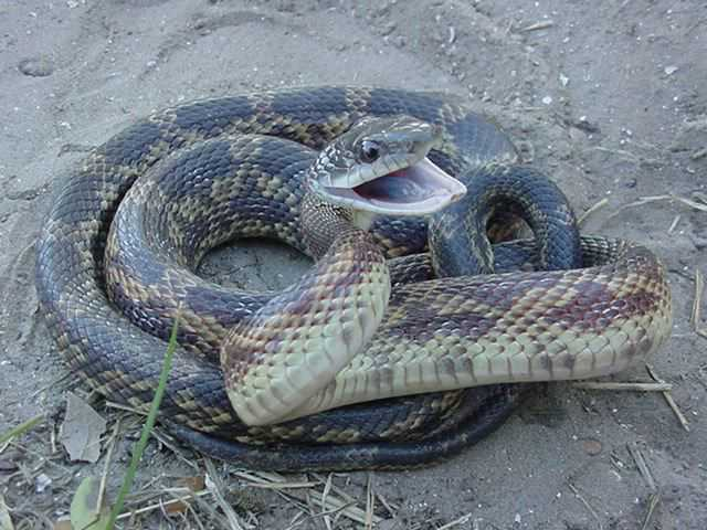 Texas Snakes Identification