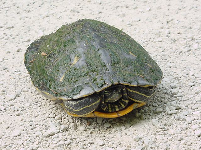 Adult Red-eared Slider